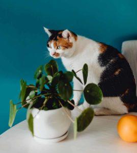chat plante non toxique
