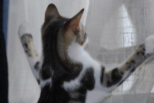 Chat grimpe rideaux