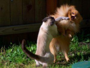 bagarre entre chat et chien