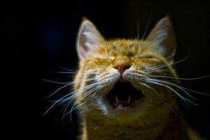 chat-geriatrique-vocalises