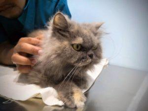 Chat-examen-veterinaire