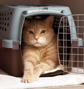 chat-habituer-cage-transport